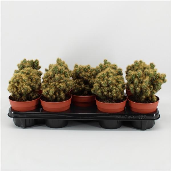 Cereus peruvianus monstrosus geel (rots geel)             110642 – Cereus peruvianus 'Monstrosus' (gele naalden)