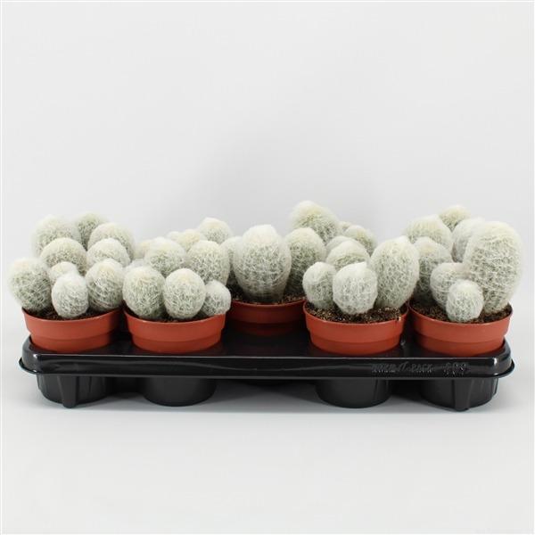 Espostoa nana (nana)             9146 – Cactus overig