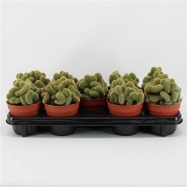 Mammillaria pringlei cristata (cristata geel)             9146 – Cactus overig