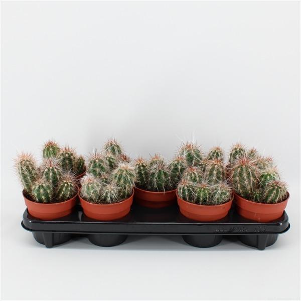 Oreocereus celsianus (celsianus)             9146 – Cactus overig