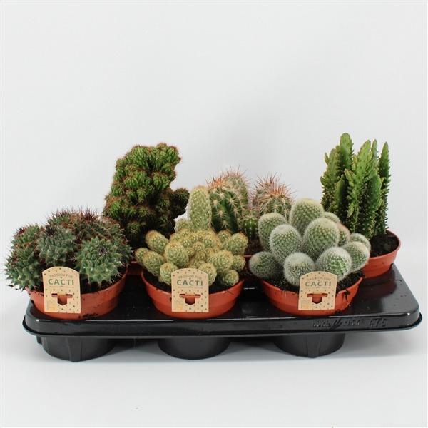 Cactus mix. 15cm 6gaats (497 mix)             8094 – Cactus gemengd