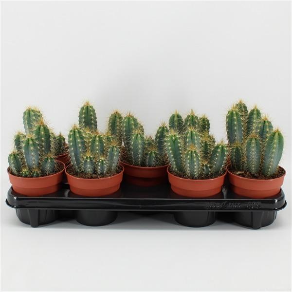 Pilosocereus azureus (azureus)             9146 – Cactus overig