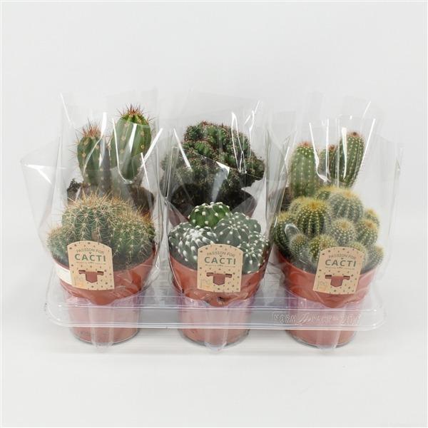 Cactus mix. 12cm 6gaats hoes (297 gem.)             8094 – Cactus gemengd