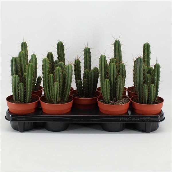 Echinopsis bridgesii (bridgesii)             9146 – Cactus overig