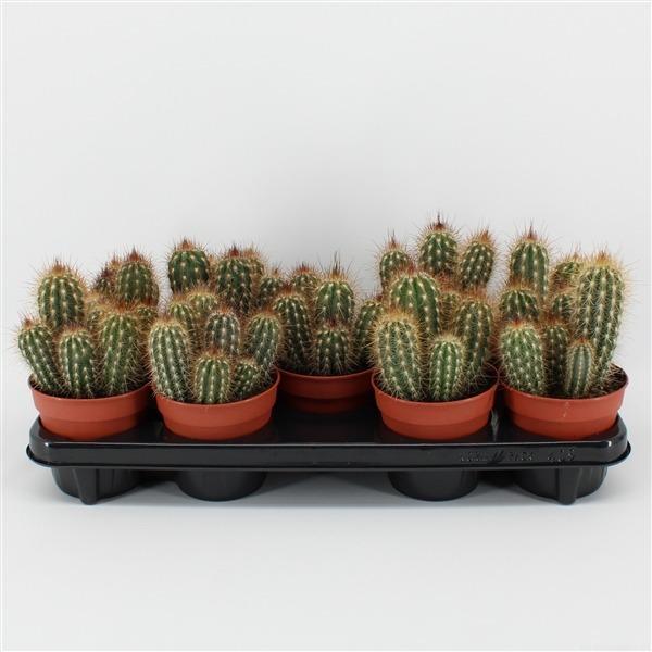 Pilosocereus gounellei (gounellei)             9146 – Cactus overig
