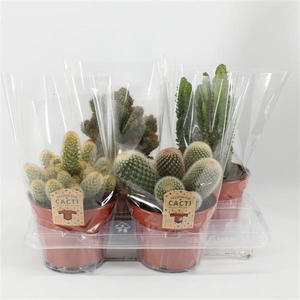 Cactus mix. 15cm 4gaats hoes (15cm4g)             8094 – Cactus gemengd