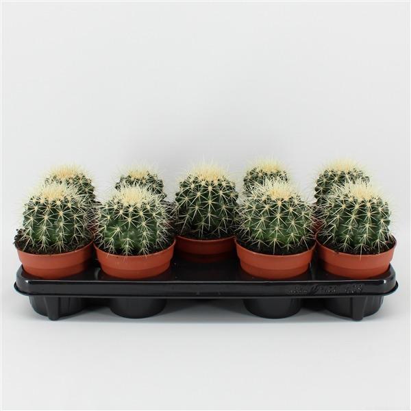 Echinocactus grusonii (grusonii)             8147 – Echinocactus grusonii