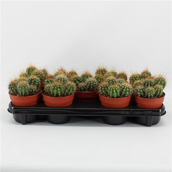 Echinopsis terscheckii (terscheckii)             9146 – Cactus overig
